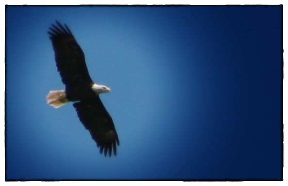 A photo I snapped of the eagle soaring over our cove a few summers ago.