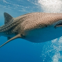 Whale Sharks, Scope, and the Matter of Dreams
