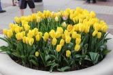 2015 Pella Tulip Time 042