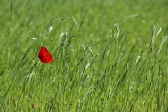 A lone red poppy at Royal Botanic Gardens, Edinburgh.