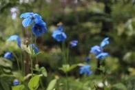 Blue poppies (I think) at Royal Botanic Gardens, Edinburgh.
