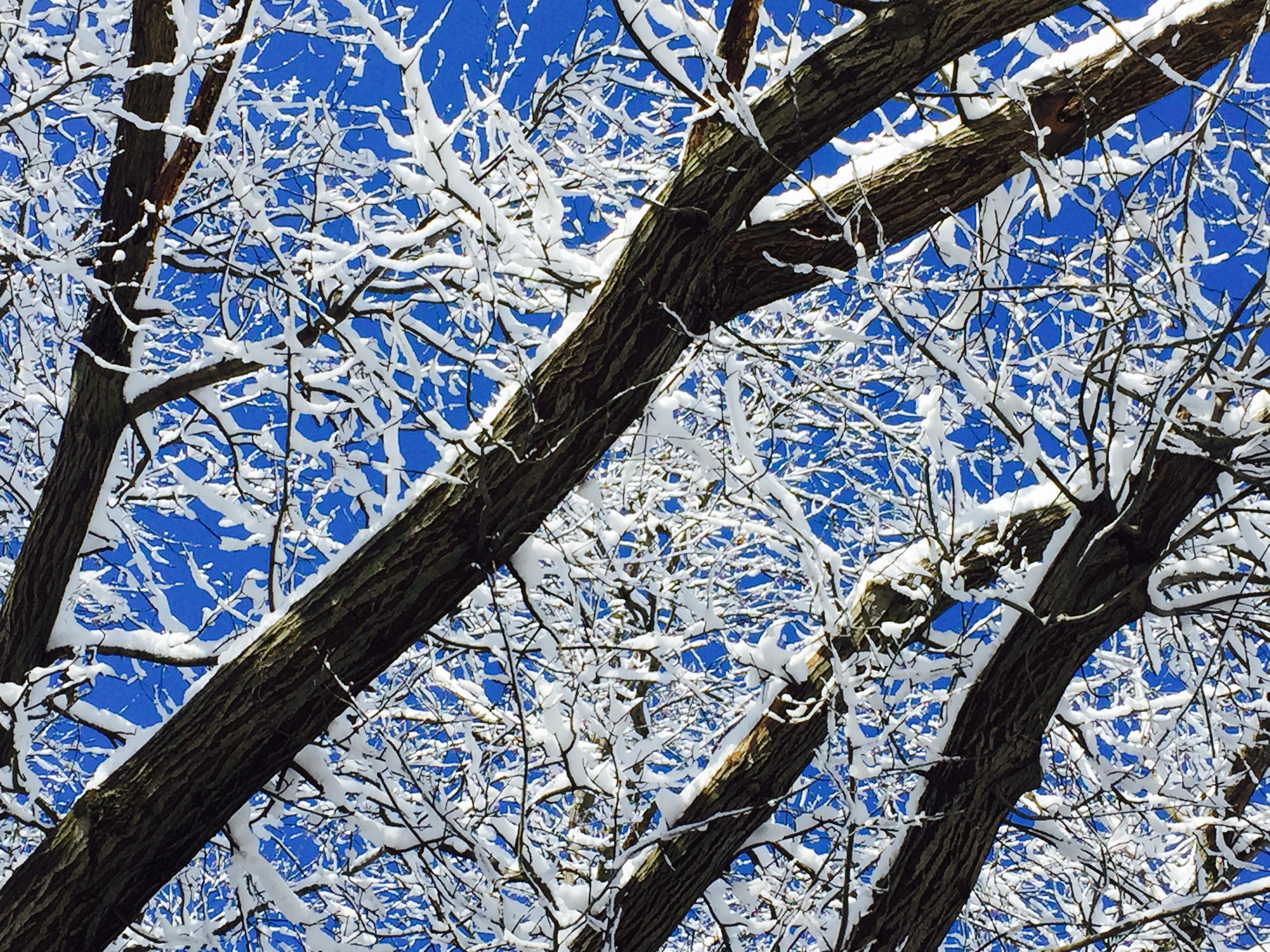 Snow on the Oak Tree
