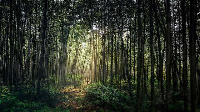 Bamboo Grove of Mystery