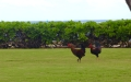 Wild chickens are everywhere in Kauai. They have the run of the place.