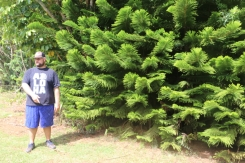 """Josh explained that every since John Wayne called this a Hawaiian Christmas Tree in """"Donovan's Reef"""" it's been referred to that way by locals and tourists."""