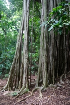 The parasitic Banyan tree.