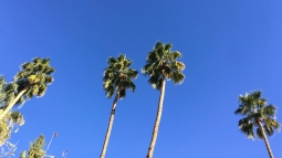 Palm trees. Palm Springs.