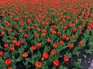 2018 Pella Tulip Time - 8